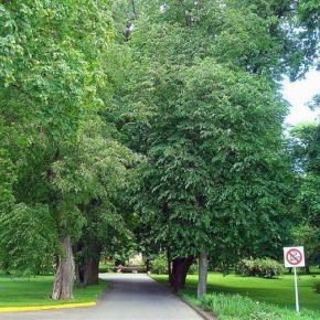 Sapiegų parke bus kertami šimtaimedžių